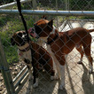 Boxer Puppy For Sale in METROPOLIS, IL, USA