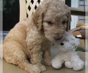 Goldendoodle Litter for sale in PELHAM, NH, USA