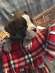 Boxer Puppy For Sale in BELLEVILLE, PA, USA