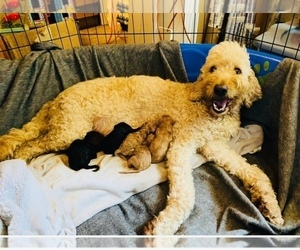 Goldendoodle Litter for sale in BRKN ARW, OK, USA