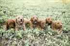 Goldendoodle Puppy For Sale in NASHVILLE, TN, USA