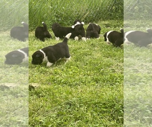 Akita Litter for sale in CHESAPEAKE, OH, USA