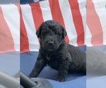 Labradoodle Puppy For Sale in NIANGUA, MO, USA