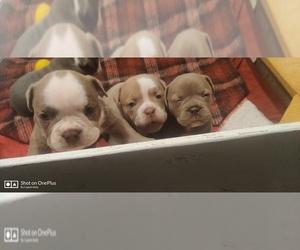 Olde English Bulldogge Litter for sale in BERLIN, CT, USA