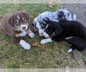 Australian Shepherd Litter for sale in BRIGGS, OH, USA