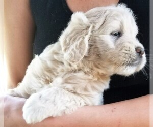 English Cream Golden Retriever-Poodle (Miniature) Mix Litter for sale in BELLVILLE, OH, USA