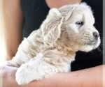 English Cream Golden Retriever-Poodle (Miniature) Mix Puppy For Sale in BELLVILLE, OH, USA