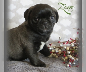 Pug Litter for sale in ELVERSON, PA, USA