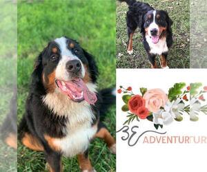 Bernese Mountain Dog Litter for sale in CLINTON, MO, USA