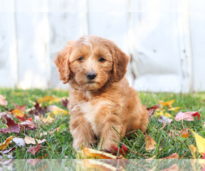 Goldendoodle Litter for sale in KILLINGER, PA, USA
