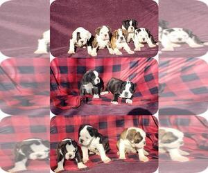 Olde English Bulldogge Litter for sale in LAFAYETTE, LA, USA