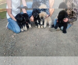 Great Pyrenees-Siberian Husky Mix Litter for sale in BANKS, OR, USA
