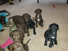 German Shorthaired Pointer-Golden Labrador Mix Puppy For Sale in AMES, IA, USA