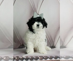 Poodle (Miniature) Litter for sale in WARSAW, IN, USA