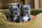 French Bulldog Puppy For Sale in TUSTIN, CA, USA