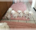 Maltese Puppy For Sale in BRKN ARW, OK, USA