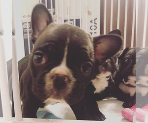 French Bulldog Litter for sale in APOLLO BEACH, FL, USA