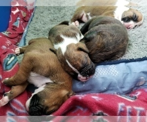 Boxer Litter for sale in PLEASANT LAKE, IN, USA