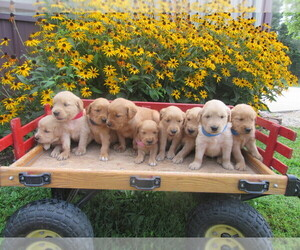 Golden Retriever Litter for sale in SARCOXIE, MO, USA