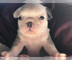 French Bulldog Litter for sale in WENATCHEE, WA, USA