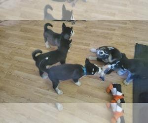Siberian Husky Litter for sale in FLUSHING, MI, USA