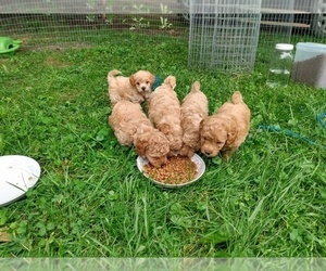 Poodle (Toy) Litter for sale in WARREN CENTER, PA, USA