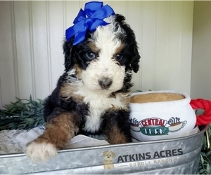 Bernedoodle Litter for sale in CHENOA, IL, USA
