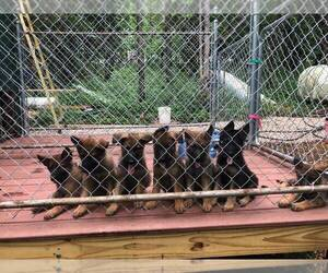 German Shepherd Dog Litter for sale in BEDFORD, IN, USA