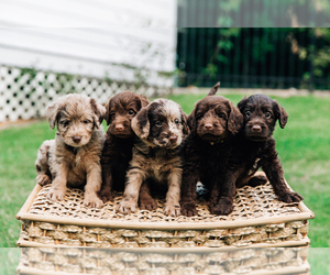 Labradoodle Litter for sale in THOMASVILLE, GA, USA