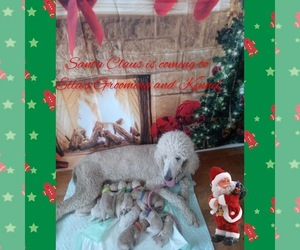 Poodle (Standard) Litter for sale in BRADFORDSVILLE, KY, USA