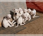 Dogo Argentino Puppy For Sale in SPANISH SPGS, NV, USA