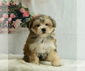 Morkie Litter for sale in WARSAW, IN, USA