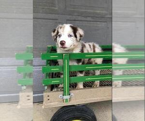 Australian Shepherd Litter for sale in BRIDGEWATER, VA, USA