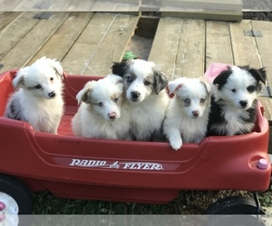 Miniature Australian Shepherd Litter for sale in BOWLING GREEN, KY, USA