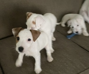 Parson Russell Terrier Litter for sale in ASTORIA, NY, USA