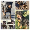 Rottweiler Puppy For Sale in LIBERTY, MO, USA