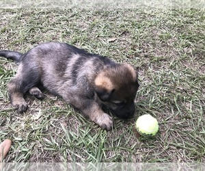 German Shepherd Dog Litter for sale in ZEPHYRHILLS, FL, USA