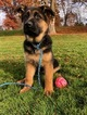 German Shepherd Dog Puppy For Sale in WALLA WALLA, WA, USA