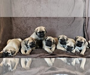 Mastiff Litter for sale in HAVILAND, OH, USA