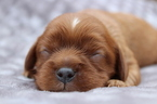 Cavalier King Charles Spaniel Puppy For Sale in OWENS CROSS ROADS, AL, USA