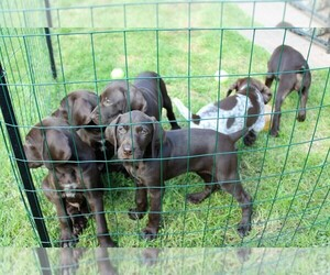 German Shorthaired Pointer Litter for sale in ZIMMERMAN, MN, USA