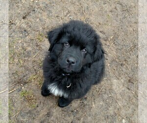 Newfoundland Litter for sale in BLISS, NY, USA