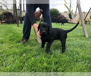 Labrador Retriever Litter for sale in RIPON, CA, USA