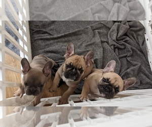 French Bulldog Litter for sale in PORTERVILLE, CA, USA