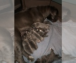 Small Photo #1 Cane Corso Puppy For Sale in BARGAINTOWN, NJ, USA