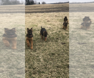 German Shepherd Dog Litter for sale in MONEE, IL, USA