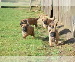 Belgian Malinois Litter for sale in OPELOUSAS, LA, USA