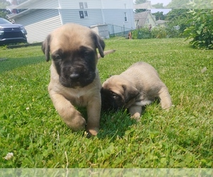 Mastiff Litter for sale in BROWNSVILLE, PA, USA