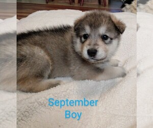 Wolf Hybrid Litter for sale in BYBEE, TN, USA