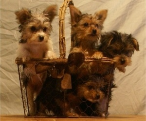 Yorkshire Terrier Litter for sale in BIRON, WI, USA